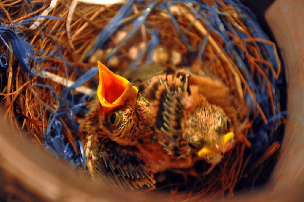 bayi burung yang di pelihara oleh keluarga Shela